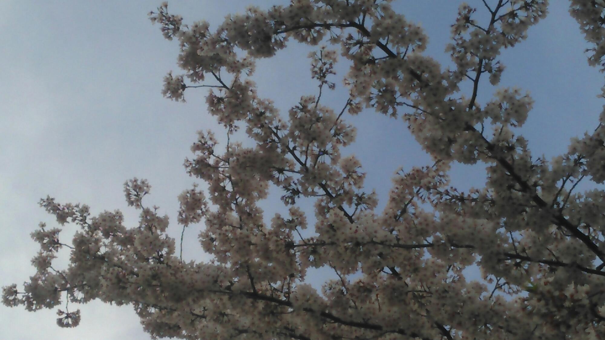 さくら満開🌸晴れ空のなか、花吹雪~