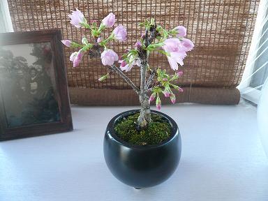 もうすぐ春ですね。桜盆栽の花が咲き始めました。